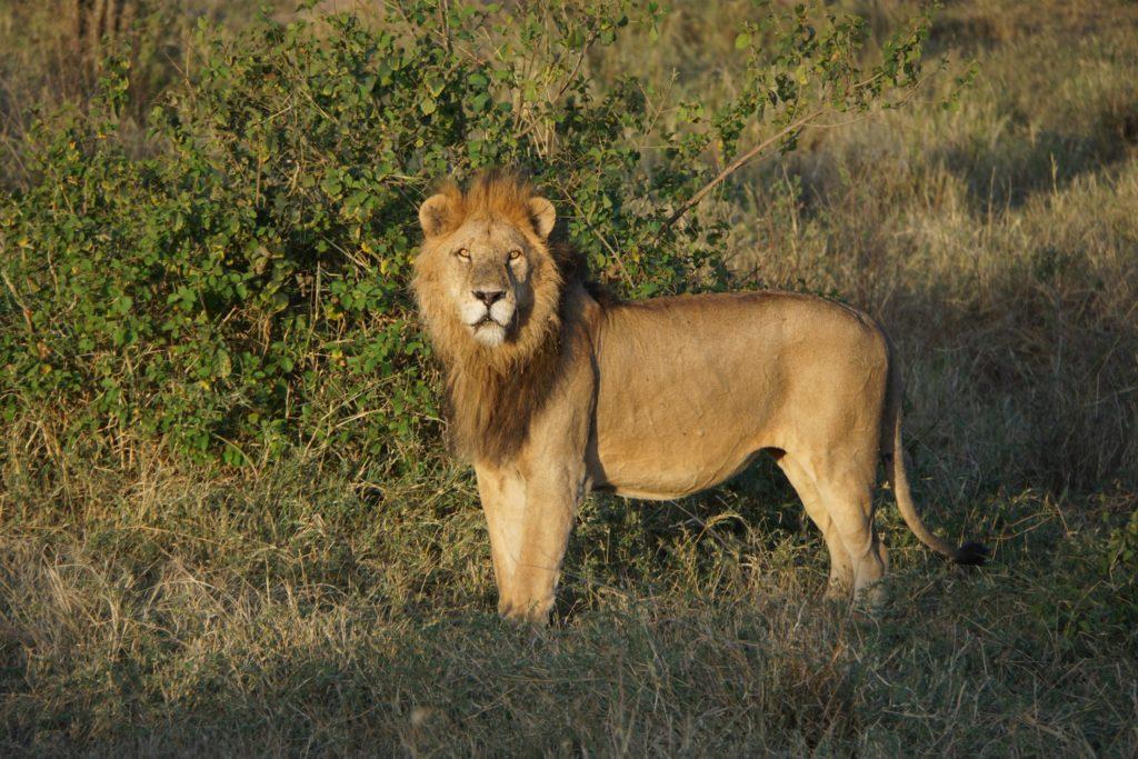 Safari w Serengeti. Stary lew i śniadanie z żyrafami